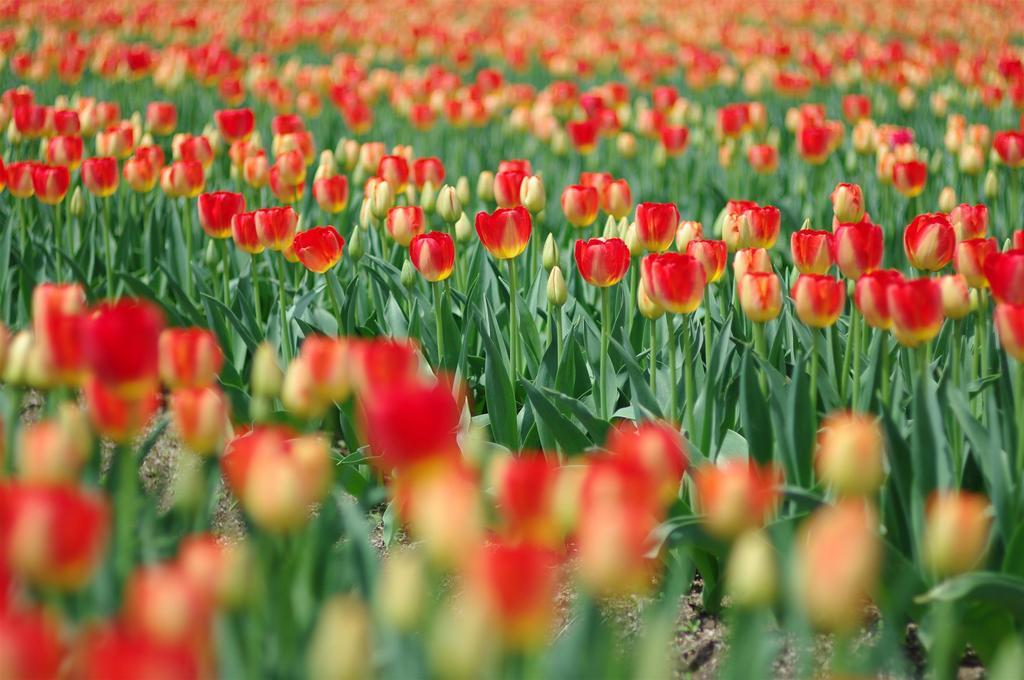 蕾と花のコントラスト