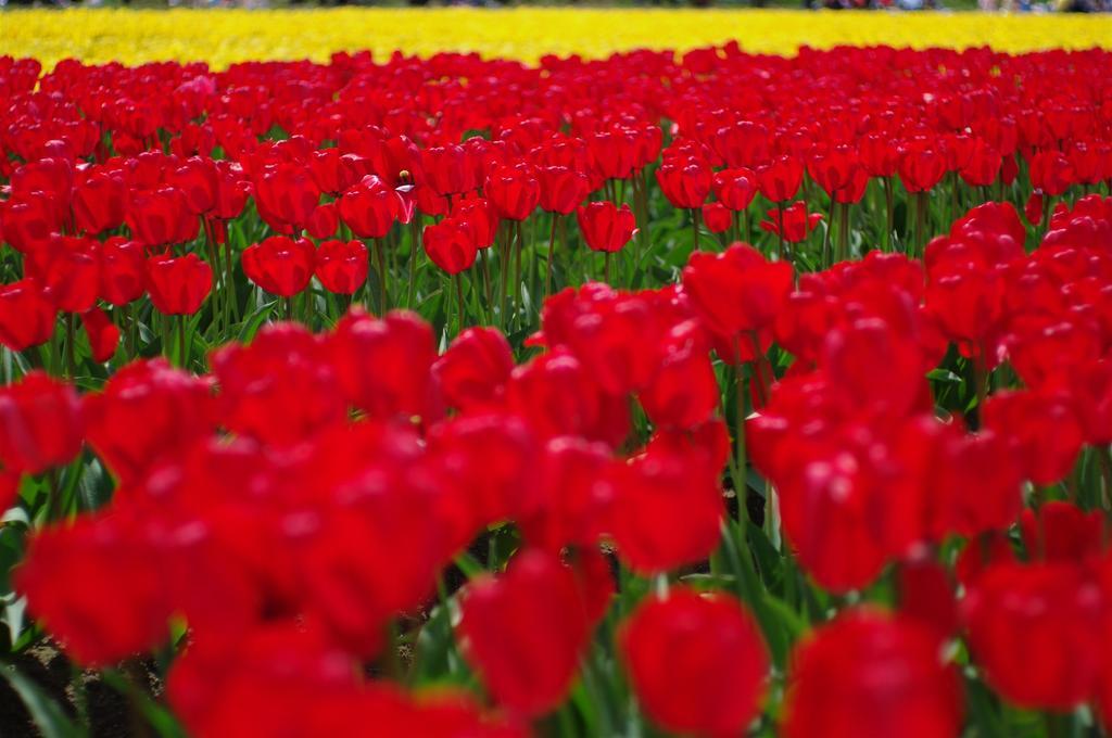 逆光の赤と黄色の絨毯