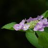 P1320紫陽花