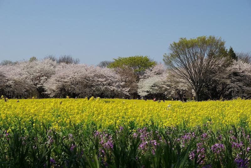 P6287昭和記念公園の菜の花と桜