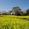 P6290昭和記念公園の菜の花と桜