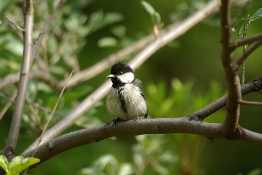 P2841シジューカラ幼鳥