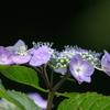 P1314紫陽花