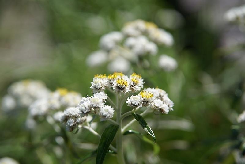 立山の植物 1