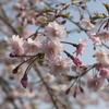 Sakura at Nagasaki 2010