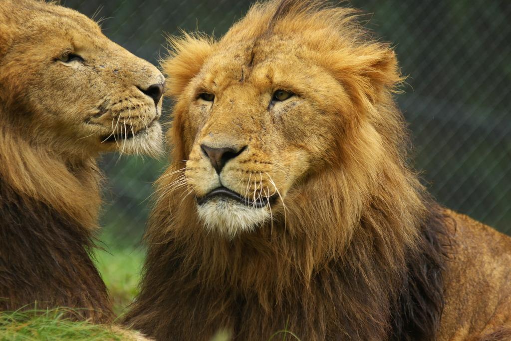 顔の大きいライオン