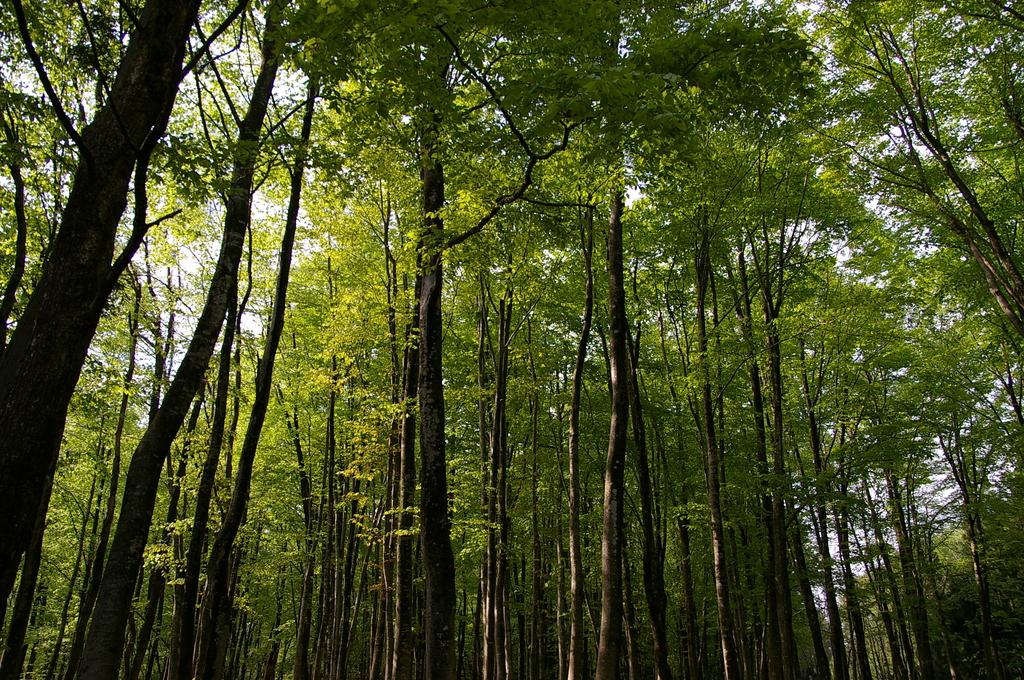 ブナの林の遅い春1