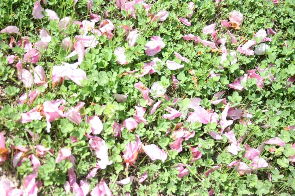 クローバーと花びら