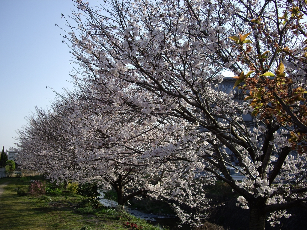 散歩道 桜