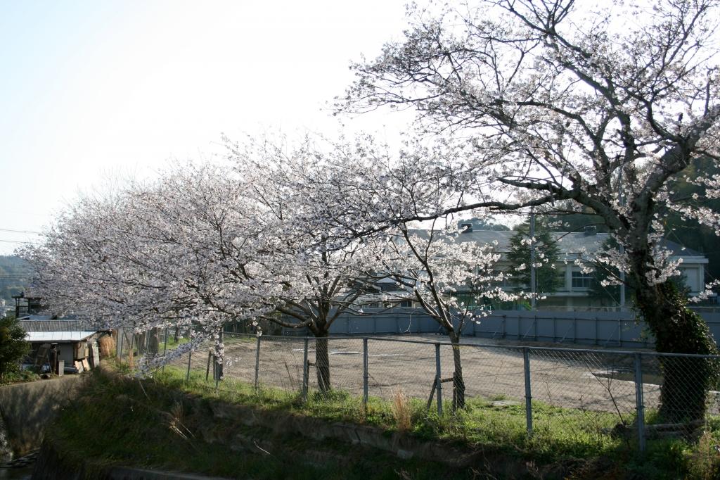 学校を囲む桜の木