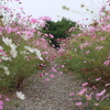 コスモスの花道