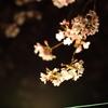 さみしげな桜