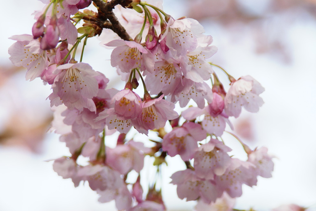 2008-安行桜
