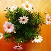 a Paris daisy