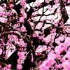 梅・乱れ咲き