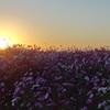 コスモスに沈む夕陽