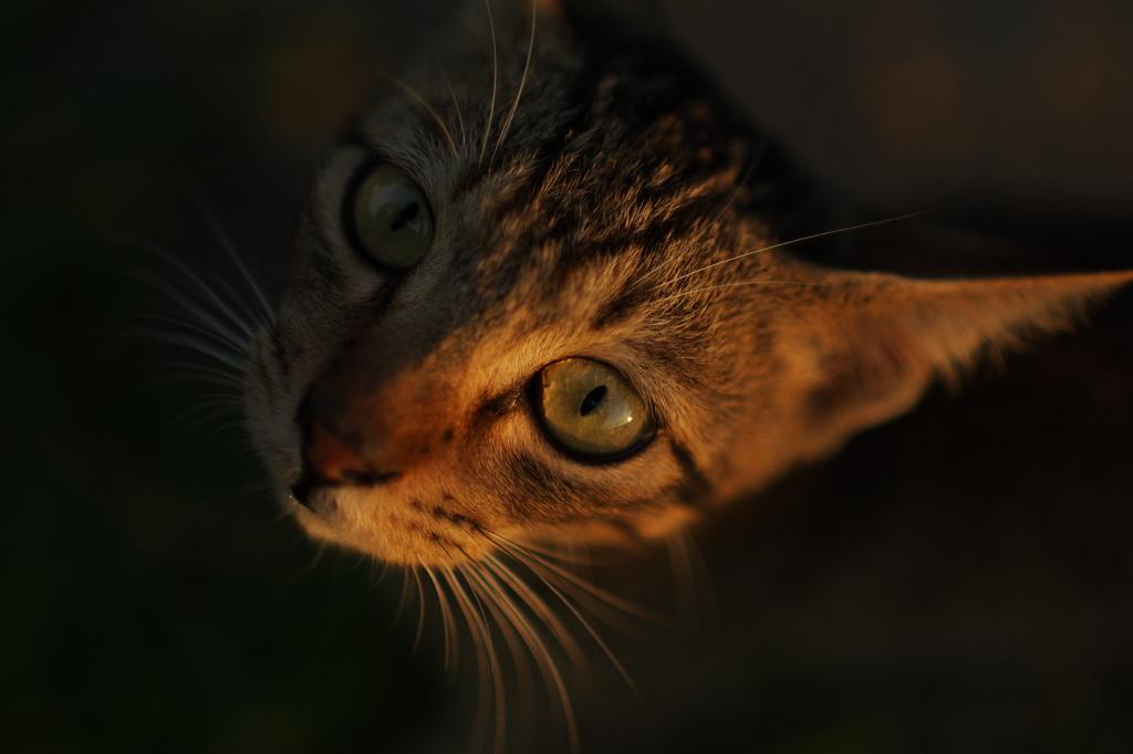 夕日の中の猫