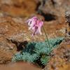 高山植物の女王 コマクサ