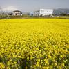 春霞の富士山と菜の花