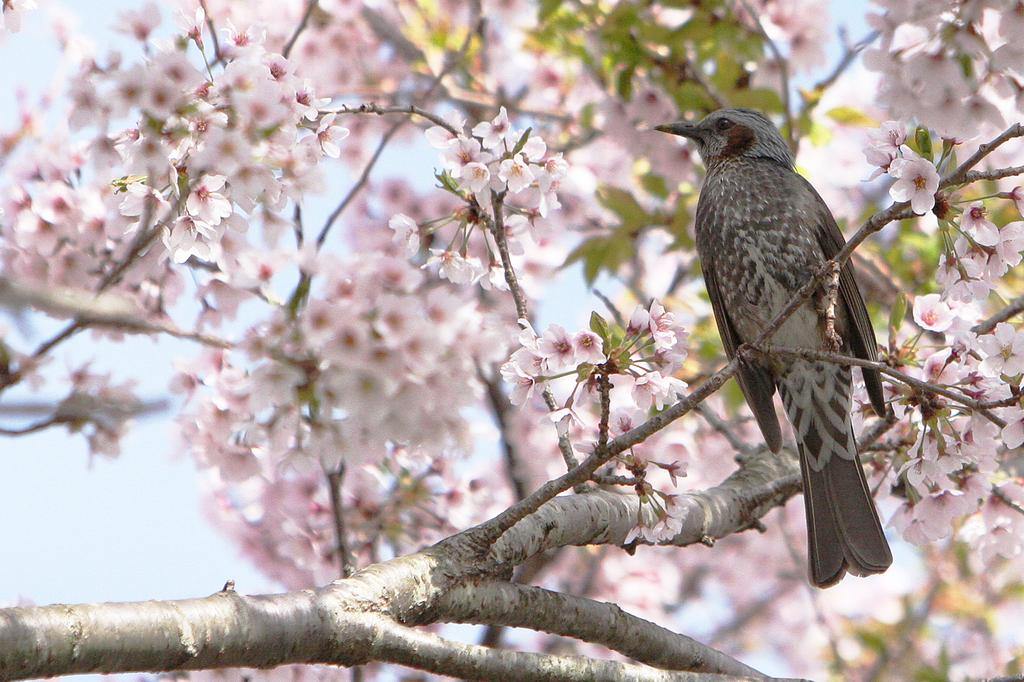 桜キレイだな〜byひよどり