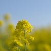 菜の花(080316)