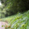IMGP4756紫陽花