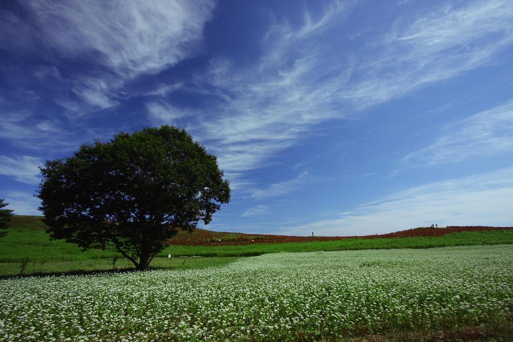 蕎麦畑に凛として立つ木
