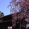 東内門の桜