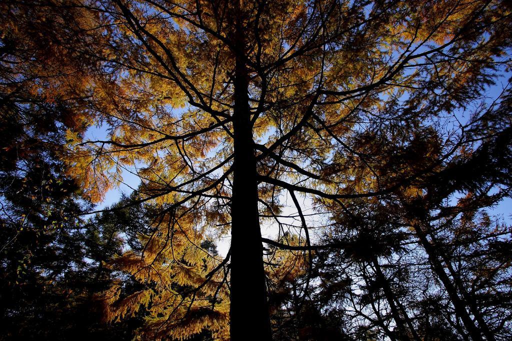 17 黄金の木
