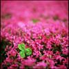 芝桜とクローバー