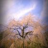長興山 シダレザクラ(チーママの台頭)