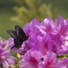 蝶とツツジ。