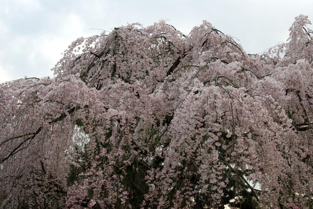 京都御苑 桜2