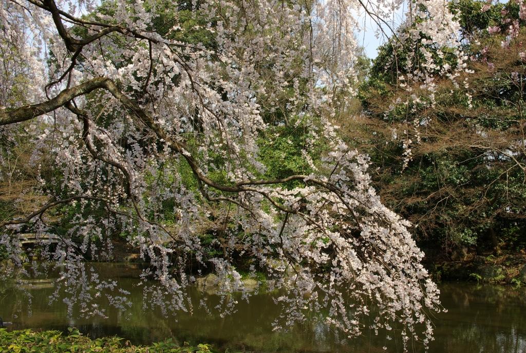 京都御苑 桜5