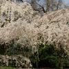 京都御苑 桜4