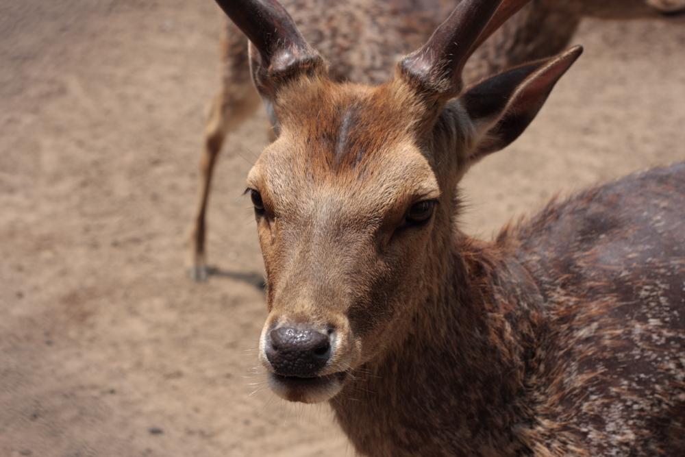 鹿島神宮の鹿