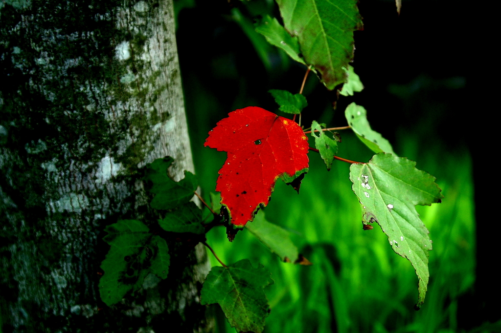 The first leaf