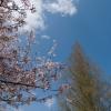 桜 木 青空