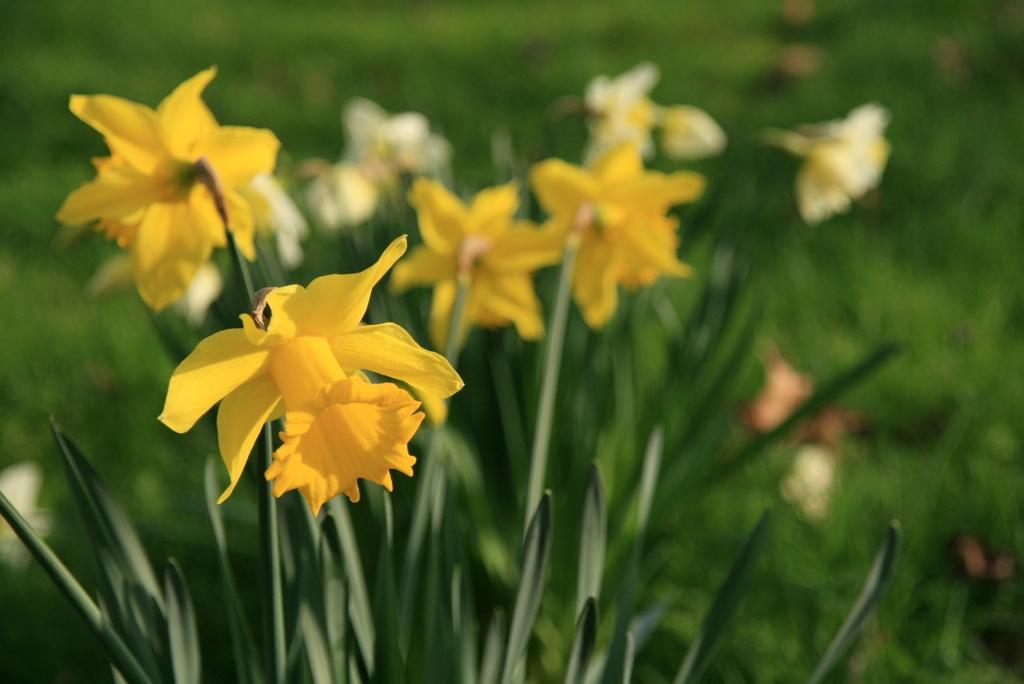 Narcissus II