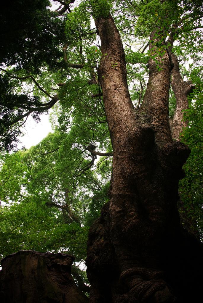 樹齢2000年