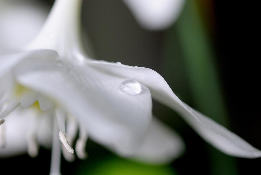 シルクの花びら