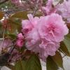 妙本寺の八重桜