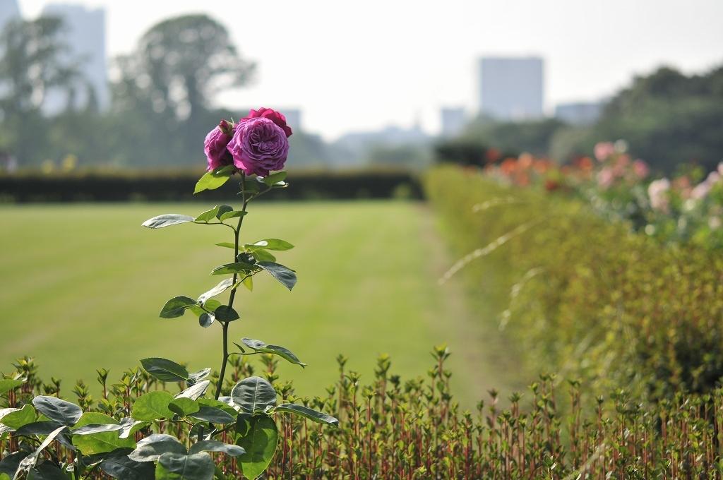 都会に咲くバラ