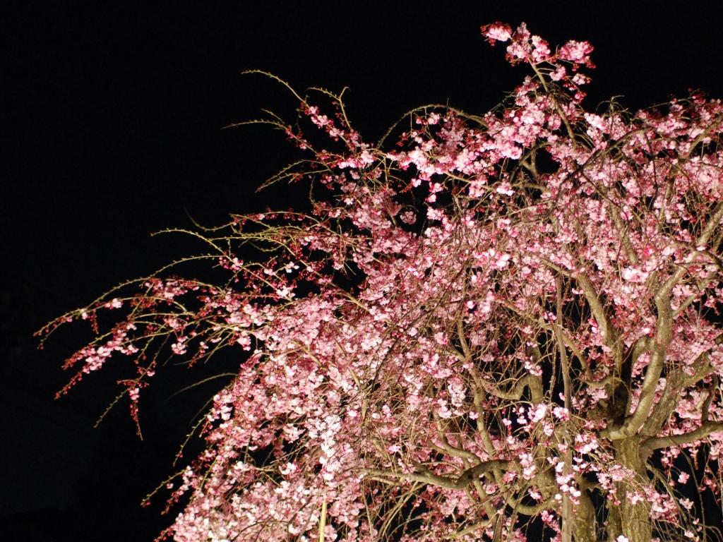 妖艶な夜桜