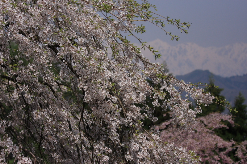 立屋の桜1