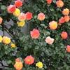 薔薇の世界