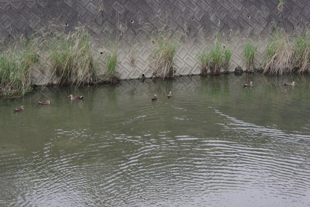 3カップルの鴨