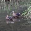 鴨のカップル
