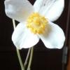 白雪芥子 20080422
