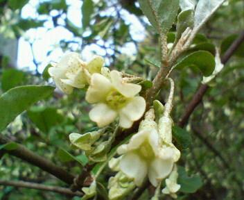 グミの花 20080420